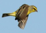 yellow_fronted_canary