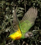 brown_headed_parrot