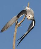 Black Shoulder Kite