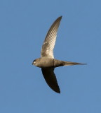 african_palm-swift