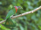 Red-bearded Bee-eater - 2012