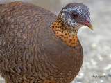 Scaly-breasted Partridge - profile - 2011