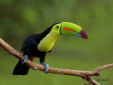 Keel-billed Toucan 2013
