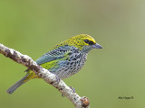 Speckled Tanager - 3 - 2013