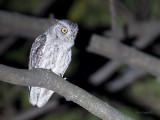 Pacific Screech Owl - 3 - 2013