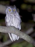 Pacific Screech Owl - 2 - 2013