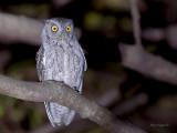 Pacific Screech Owl 2013