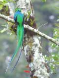 Resplendent Quetzal - male 4 - 2013