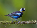 Golden-hooded Tanager - 2 - 2013