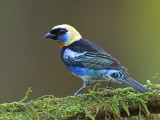 Golden-hooded Tanager 2013