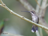 Plain-capped Starthroat 2013