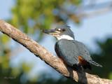 Ringed Kingfisher - female 2 CV - 2013