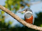 Ringed Kingfisher 2013 CV
