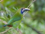 Emerald Toucanet - 2013 - 2