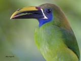 Emerald Toucanet - 2013 - profile
