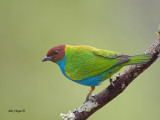 Bay-headed Tanager - male 2 - 2013