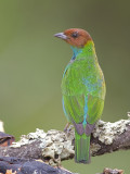 Bay-headed Tanager - female - 2013