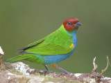 Bay-headed Tanager - male - 2013