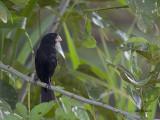 Nicaraguan Seed-Finch - 2013 - male 3