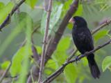 Nicaraguan Seed-Finch 2013