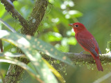 Summer Tanager - male - 2 - 2013