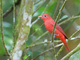Summer Tanager 2013