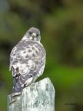 Broad-winged Hawk - 3 - 2013