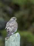 Broad-winged Hawk 2013