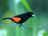 Cherrie's Tanager 2013 - male
