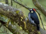 Acorn Woodpecker - female 2 - 2013
