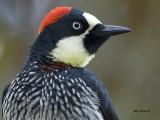 Acorn Woodpecker - female - portrait - 2013