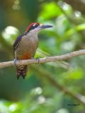 Black-cheeked Woodpecker - male 2 - 2013