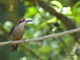 Black-cheeked Woodpecker - male - 2013