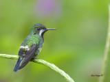 Green Thorntail - female 2 - 2013