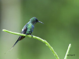 Green Thorntail - male - 2013