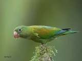 Orange-chinned Parakeet 2013