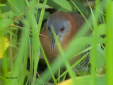 White-throated Crake 2013