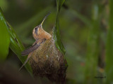 Stripe-throated Hermit - 2013 - 2