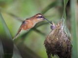 Stripe-throated Hermit 2013