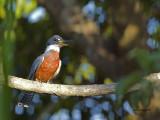 Ringed Kingfisher - male CV - 2013