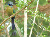 Blue-crowned Motmot 2013