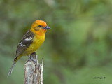 Flame-colored Tanager - juvenile - 2013