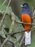 Bairds Trogon - male - 2013 - 3