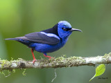 Red-legged Honeycreeper 2013