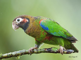 Brown-hooded Parrot 2013