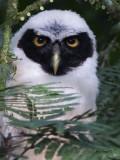 Spectacled Owl - juvenile portrait - 2013