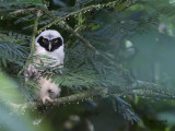 Spectacled Owl 2013