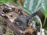 Long-billed Gnatwren - 2013 - Nesting