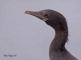 Little Cormorant - portrait - 2010