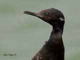 Indian Cormorant - breed - portrait - 2010